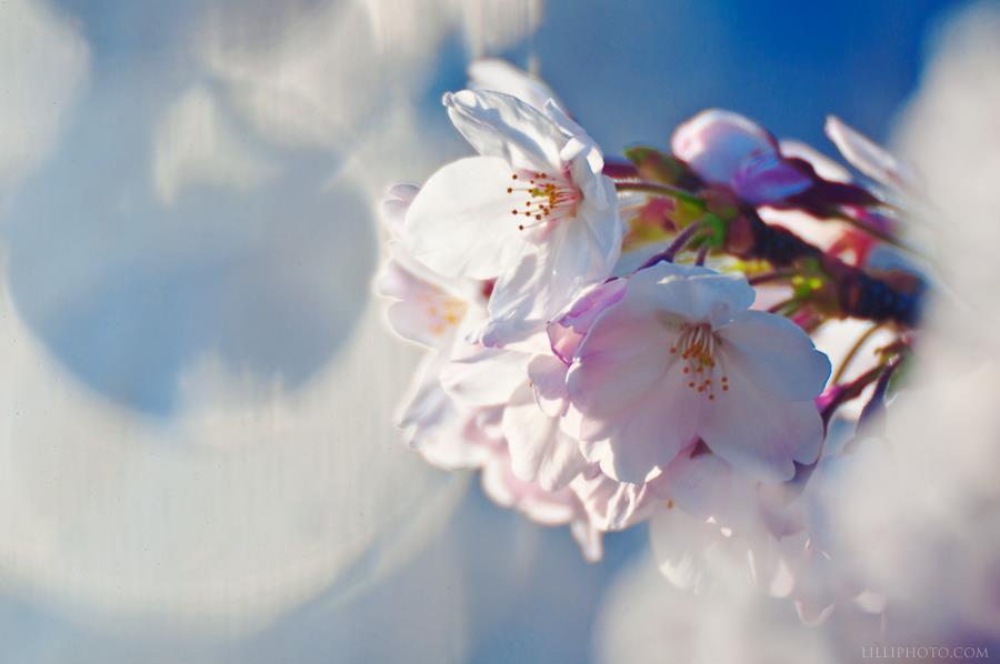 桜9(拡大表示)