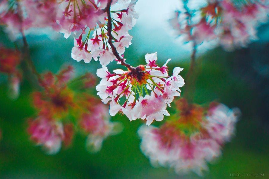 桜2(拡大表示)