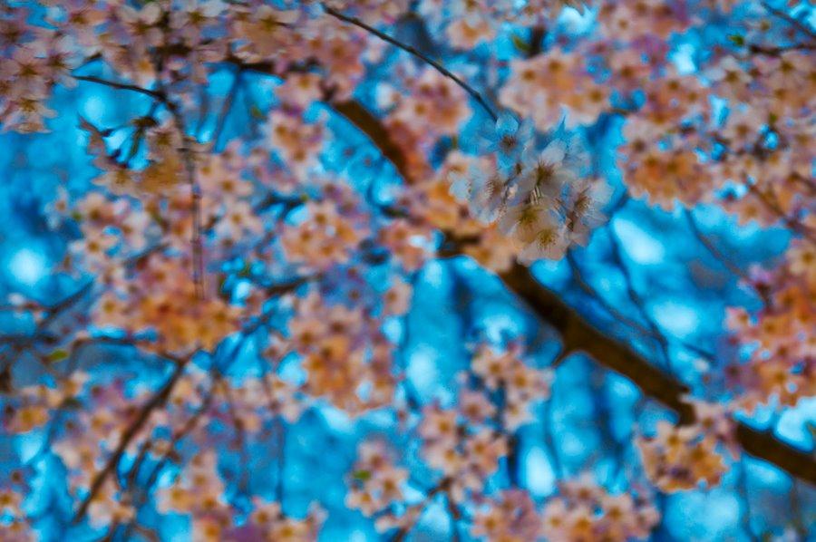 桜6(拡大表示)