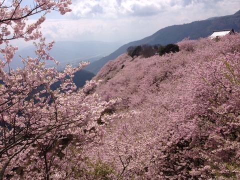 八百万桜1