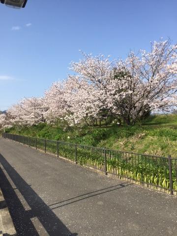 水際公園桜