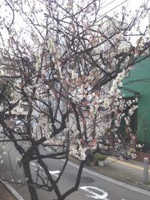 2月横浜の梅