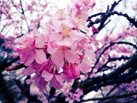 ひたちなかの桜