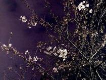 3,26,28、夜桜(1)