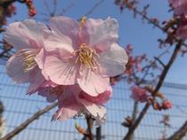 3,6,28、桜()