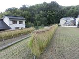 11稲刈り2