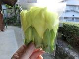 4花オクラ2