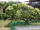 6.6栗の花