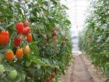 20ミニトマト1