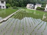 20水稲1