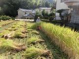 11稲刈り1