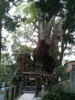 樹齢2000年の楠