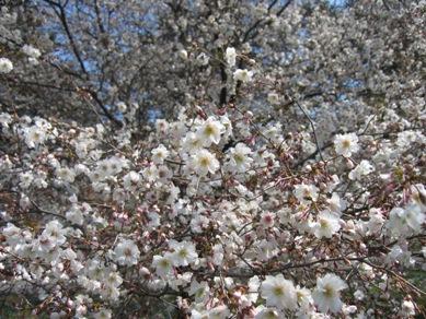 ボタニカル桜1