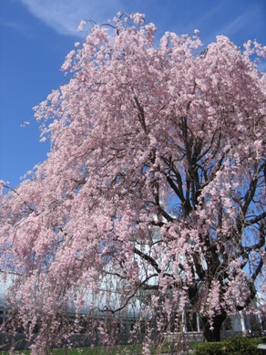 ボタニカル桜4