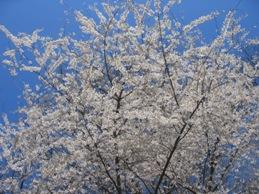 ボタニカル桜3