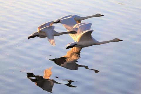 3ー4_鏑川の白鳥 (3)