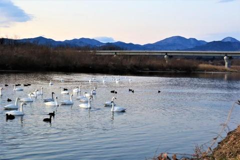 3-1_鏑川の白鳥 (4)