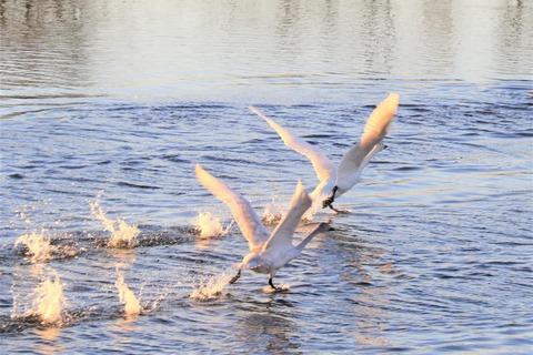 4-4_鏑川の白鳥 (2)