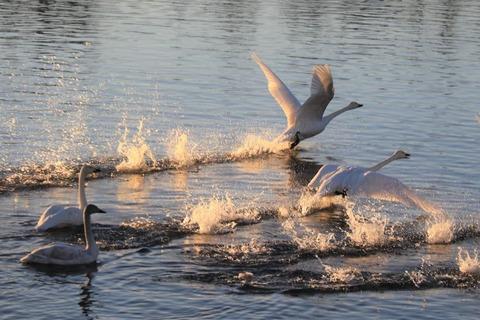 4-3_鏑川の白鳥 (1)
