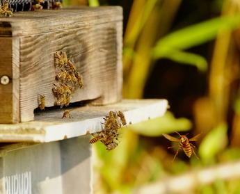 ミツバチとキイロスズメバチ