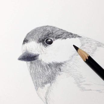 色鉛筆でヤマガラ