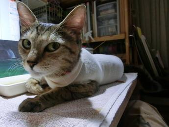猫避妊手術3