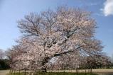 瑞龍小学校の桜