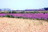花れんげ09-05-21東海