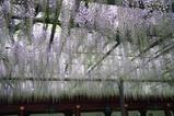笠間稲荷神社藤の花