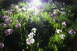 夜の花菖蒲