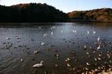 白鳥古徳沼07-12-06
