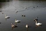 白鳥07-11-08古徳沼12羽