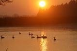 白鳥古徳沼10-03-11
