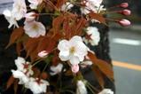 八重桜多賀大学通り08-04-25(13)琴平