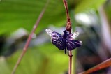 花蓮親沢の池チョウトンボ