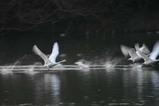 白鳥古徳沼07-03-13