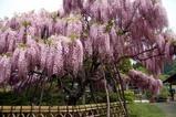 金砂郷藤の花茅根