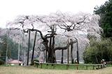 桜12-04-22大子町地蔵桜8分咲き