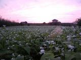 夕陽と常陸秋そば