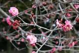紅梅茨城県植物園