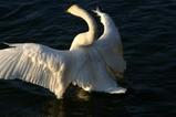白鳥古徳沼11羽