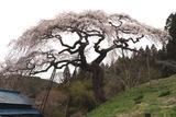 桜12-04-22大子町外大野の枝垂れ桜八分咲き