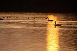 白鳥古徳沼10-03-12