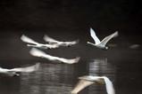 白鳥古徳沼10-03-13
