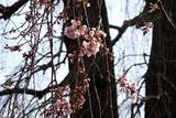 額田の阿弥陀寺枝垂れ1分咲き