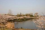 さ桜千波湖