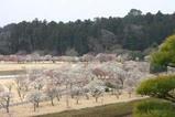 水戸の梅祭り