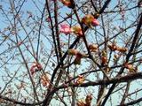 桜08-03-19久慈浜桜