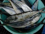 久慈漁港061020シイラ