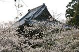 桜大和村雨引観音